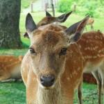 広島市内に鹿、出現