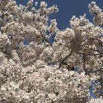 広島で花見を楽しめる桜の名所