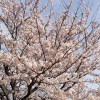 広島市内は桜が満開!