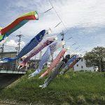 がんばれカープ!西区新庄町の川には鯉のぼりが泳いでいます
