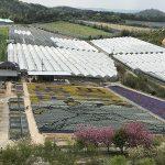 今年の花絵は元カープ黒田さん!見頃を迎えている「世羅ゆり園」に行ってみました