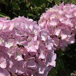 本日6/18(日)~7/7(金) まで佐伯区の観音寺で「あじさい祭り」が開催されます!