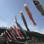 がんばれカープ!安佐北区白木街道沿いの三篠川にかかる鯉のぼりは見事