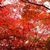 広島市内中心部から近くにある紅葉スポットの穴場「琴比羅神社」は今が見頃