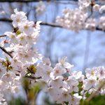 この時期に間違いやすい「梅・桃・桜」の花の見分け方は?