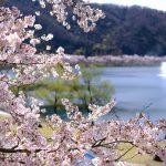 約6,000本のサクラが咲き誇る西日本有数の名所「土師ダム」!「桜まつり」は本日4/14(日)まで