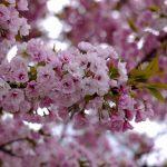 63品種216本の桜を楽しめる!造幣局 広島支局で「花のまわりみち」開催中