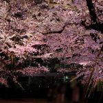 「縮景園」で開催中の「夜桜ライトアップ」、今が見頃です!4/4(木)まで