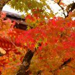 広島市内にある国宝「不動院」で紅葉が色づき始めました!ただ「金堂」横の木は切り倒されて…