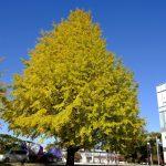 平和大通り沿いや平和記念公園にあるイチョウの木が見頃を迎えています!