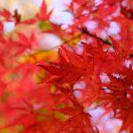 紅葉の穴場スポット「琴比羅神社」でほんの一部だけ色付き始めました!見頃はもう少し先です