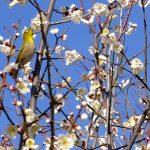 広島市内でも梅の花が見頃を迎えています!