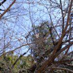 国内最速、広島で桜の開花が発表!標本木のある縮景園のソメイヨシノを見に行ってみました