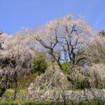 "<span class=""title"">樹齢300年以上!広島県の天然記念物に指定されている「神原のしだれ桜」</span>"