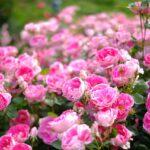 """<span class=""""title"""">広島市東区にある「牛田総合公園バラ園」のバラが見頃を迎えています!</span>"""